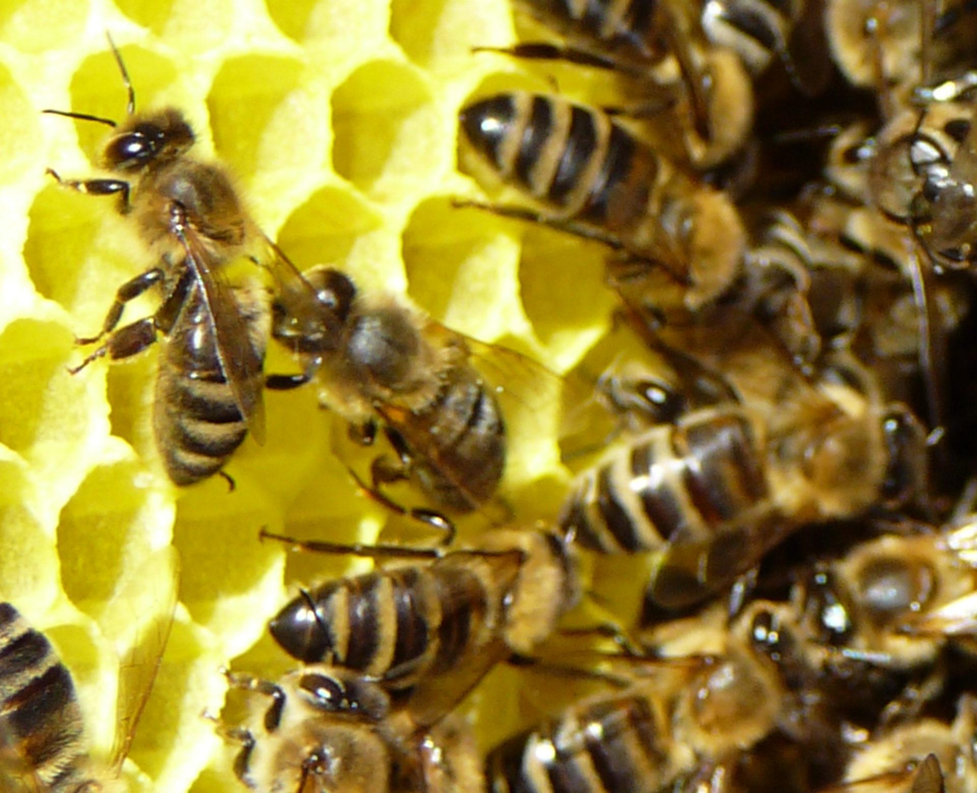 Prodej vyzimovaných včelstev 2018
